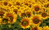 How to fertilize the sunflower