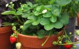Planting strawberries in a pot