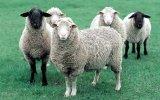 Breeding activity in wool breeding